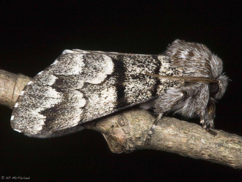 This is an Eastern Panthea Moth (Panthea furcilla).