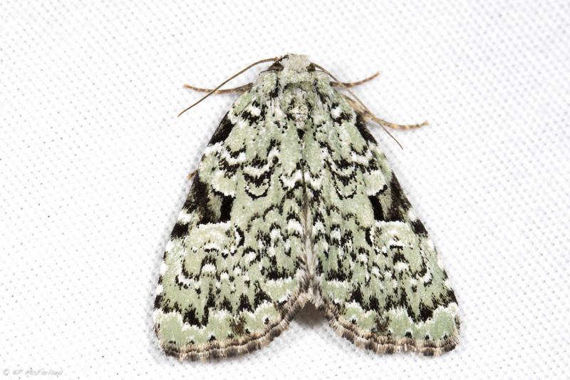 Green Leuconycta Moth (Leuconycta diphteroides)