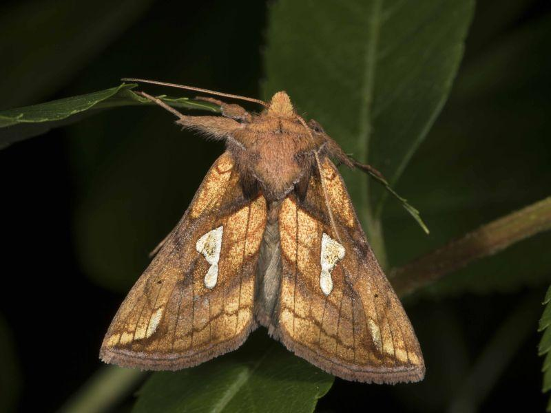 This is a Putnam's Looper Moth (Plusia putnami).