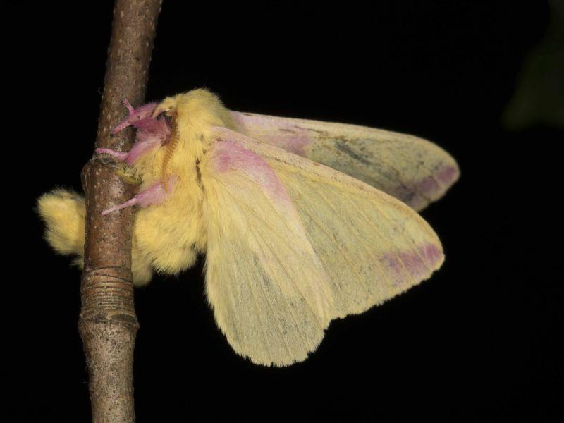 This is a Rosy Maple Moth (Dryocampa rubicunda) that Kent McFarland photographed in his back yard.