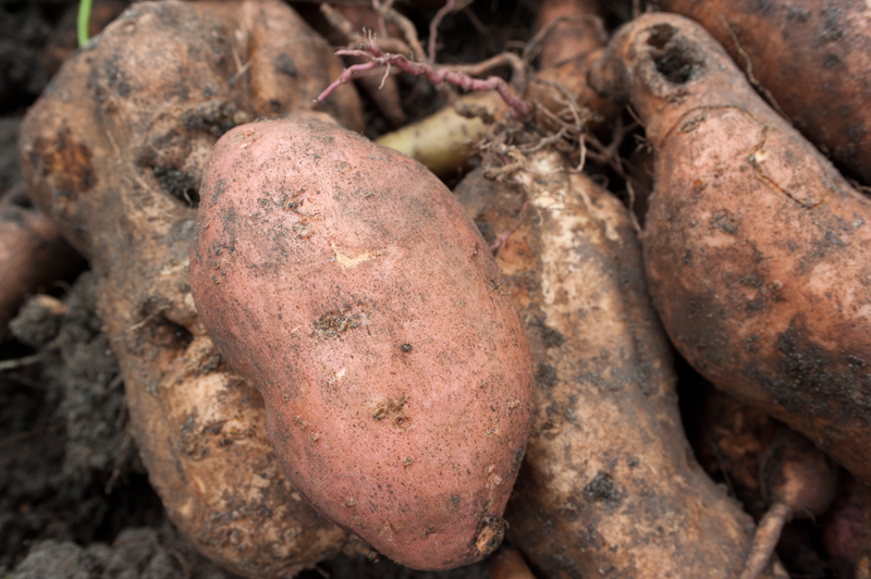 Sweet Potatoes grow well during Vermont summers but be careful not to lose your crop to voles and deer.
