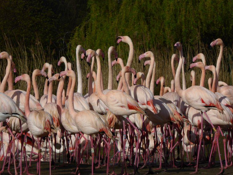 Researchers aren't entirely sure, but the current prevailing theory is that flamingos stand on one leg to conserve energy.