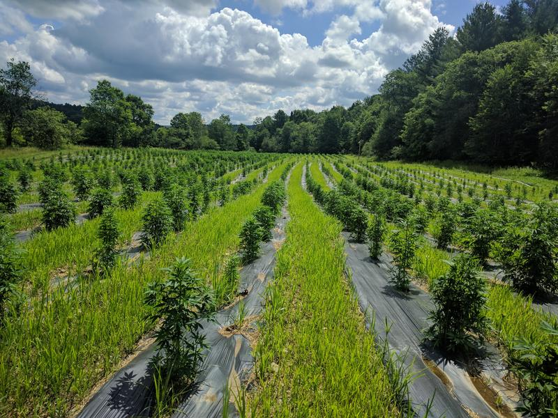 Green Mountain CBD's hemp farm in Hardwick. Since this photos the hemp plants seen here have more than doubled in size.