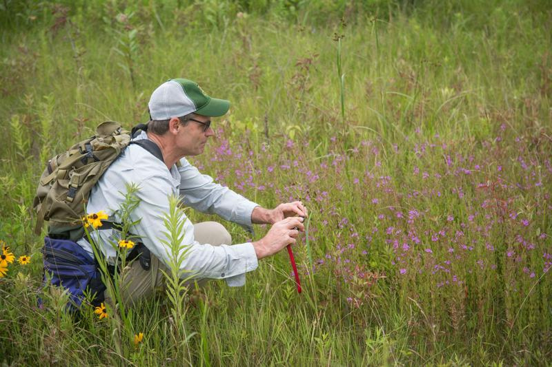 Winged loosestrife was considered extirpated in Vermont until Vermont Fish & Wildlife botanist Everett Marshall spotted it in Monkton.