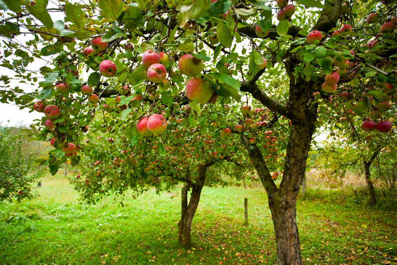 When harvesting apples, keep in mind that fruit on the south side and outside of the tree ripen faster than those on the inside.