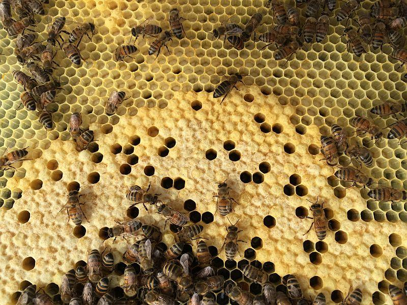 The queen bee lays fertilized eggs inside the beehive. Worker bees tend to the eggs, which turn into larvae. The brood, as the babies are called, are capped while they grow into bees that then hatch out of the cells.
