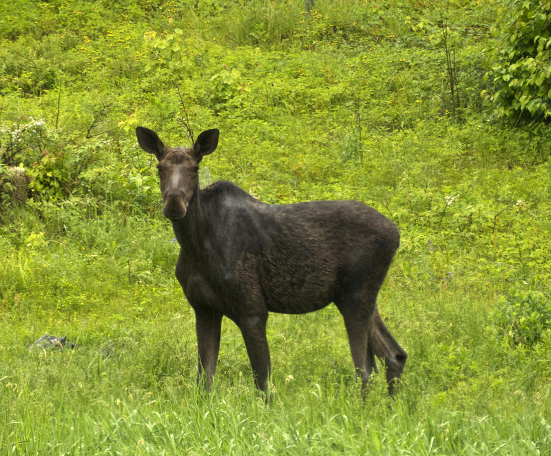 A moose enjoys a rainy day in Woodbury, Vermont. We're talking about the state of the state's wildlife.