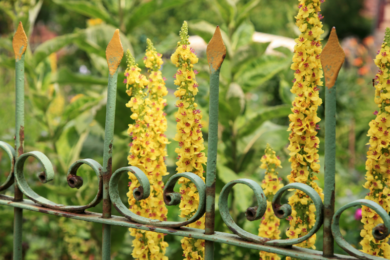 Plant breeders have created many hybrids of Verbascum, some of which have flower spikes up to eight feet tall.