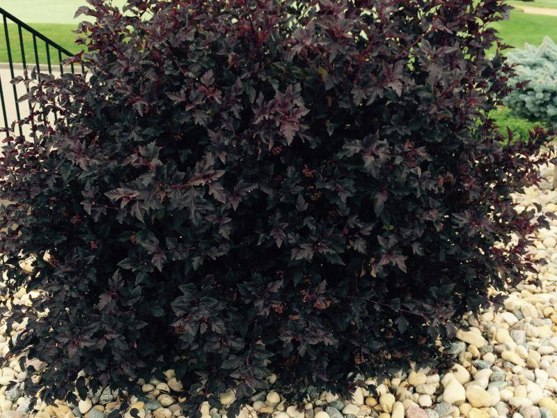 "This shrub, called ninebark, is a great example of how you can plant colors among your greenery and shrubs. Its variety, with deep purple leaves, is titled, ""Summer Wine."""