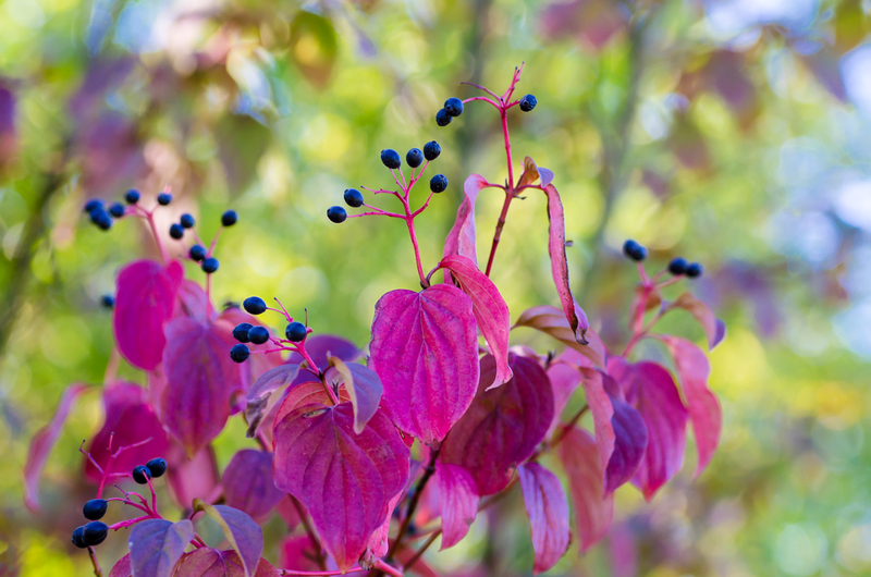 The leaves of elderberry bushes and other edibles provide additional bright colors during fall.