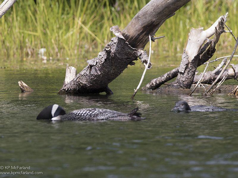 An adjult loon and chick are looking for fish on Lake Fairlee.