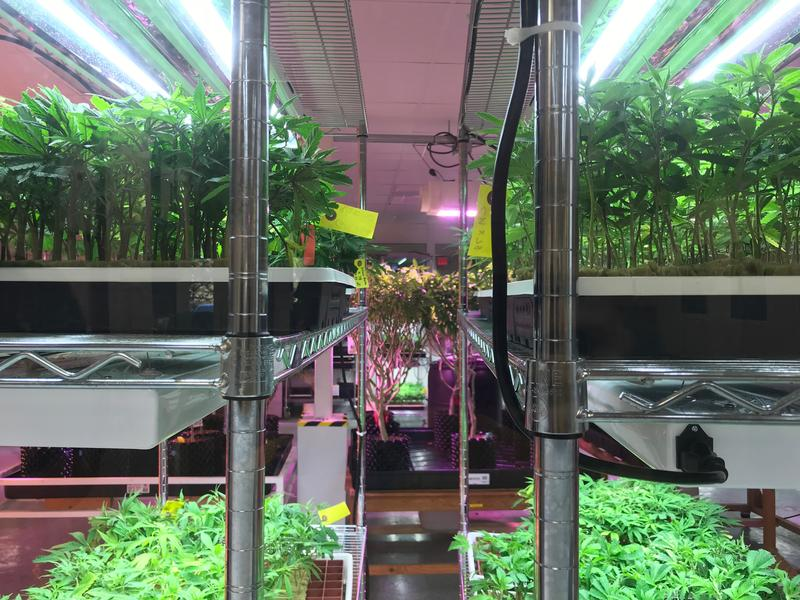 Marijuana clones grow behind glass in Milton, Vt., at the headquarters of Champlain Valley Dispensary/Southern Vermont Wellness, run by Shayne Lynn.