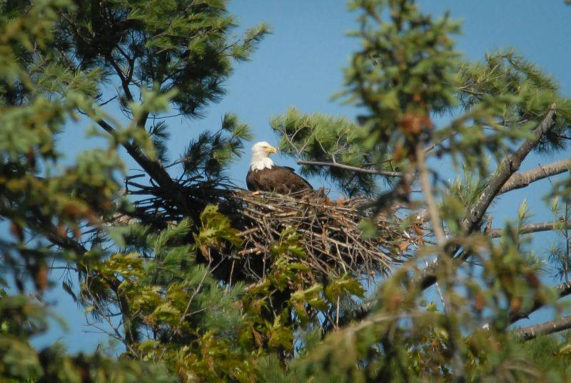 Nesting pairs of bald eagles produced 35 young in 2017. Just ten years ago, there were no nesting pairs in the state.