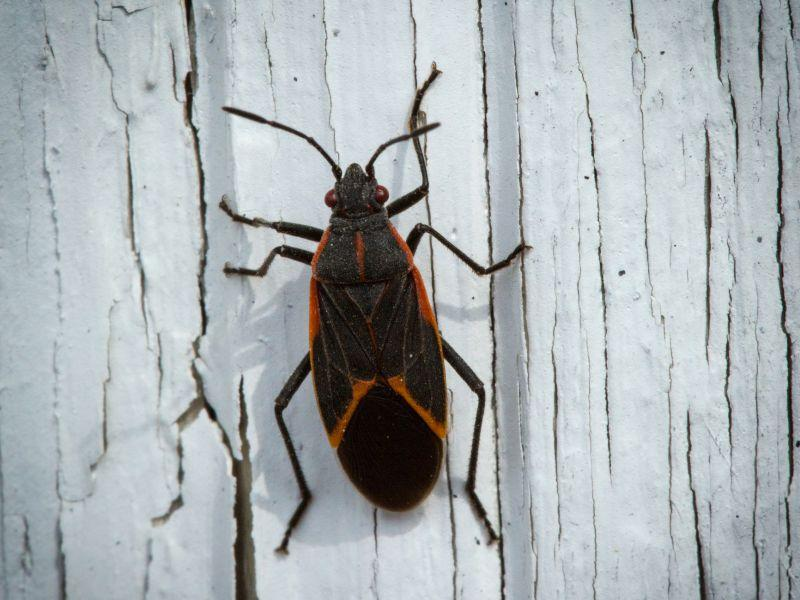 "Conservation biologist Kent McFarland spoke with ""Vermont Edition"" about the robust number of box elder bugs currently populating the state."