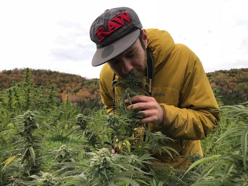 Kyle Gruter-Curham grows 6 acres of hemp in Irasburg. He says if lawmakers allowed it, he could add marijuana to his crops as early as next spring.