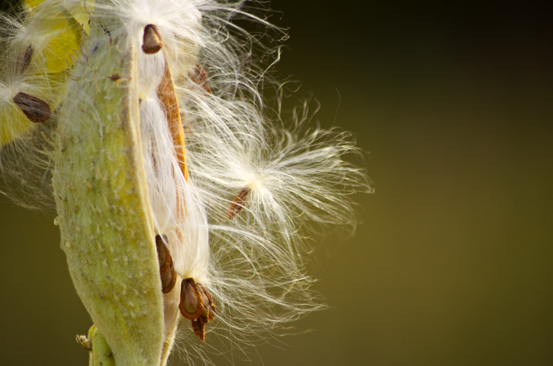 Milkweed floss, once used to stuff pillows and mattresses, is coming into favor again as an insulation for winter jackets.
