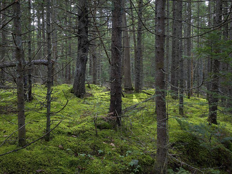 This beautiful spruce forest is home to many birds that feast on conifer seeds.