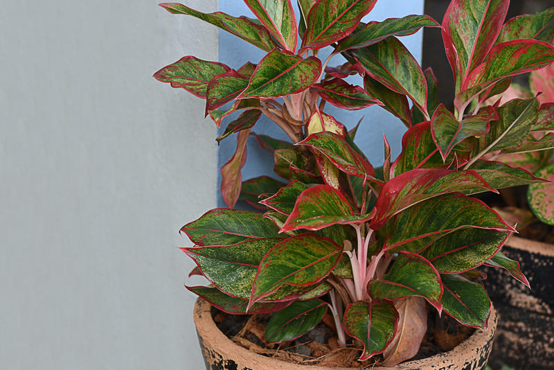 Aglaonema, also known as a Chinese evergreen, requires less care than most houseplants and is a good choice for someone who doesn't have a green thumb.