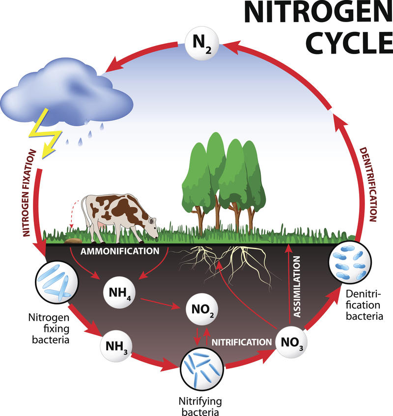 An illustration of the nitrogen cycle.