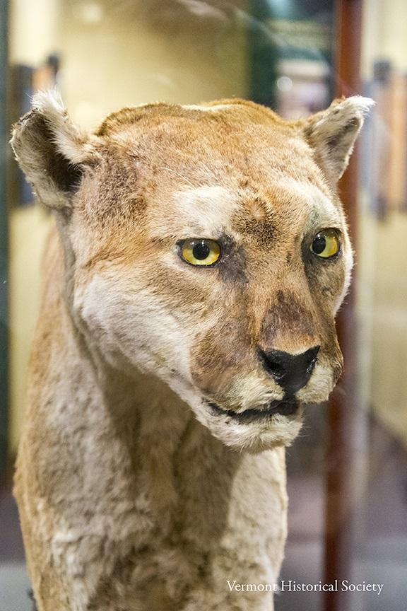 This catamount is on display at the Vermont History Museum in Montpelier.