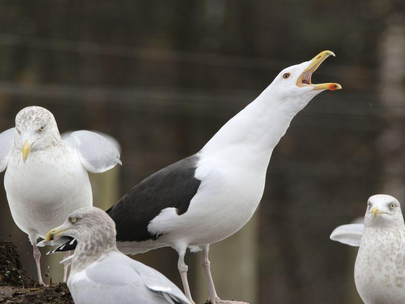 A Great Black-Backed Gull calling among Herring Gulls at Grow Compost in Waterbury.