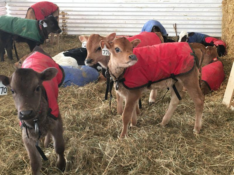 Young calves stay warm with blankets and a hay igloo at the Sweet Farm in Fletcher.