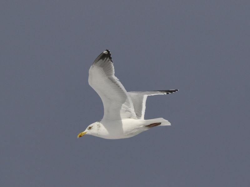 A Herring Gull in flight exhibits the beauty and grace of the bird some think of as a nuisance.