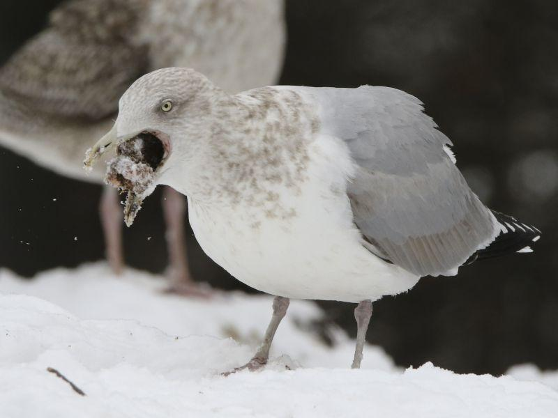 A Herring Gull swallows a chunk of food whole.