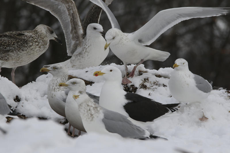 Herring and Great Black-Backed Gulls feast together at Grow Compost.