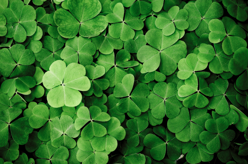 Oxalis, or the shamrock plant, can be brought indoors in winter as long as certain steps are carefully followed.