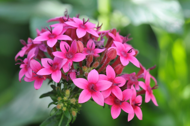 Pentas, also known as Egyptian star flowers, are great for adding a splash of color in window boxes and planters.