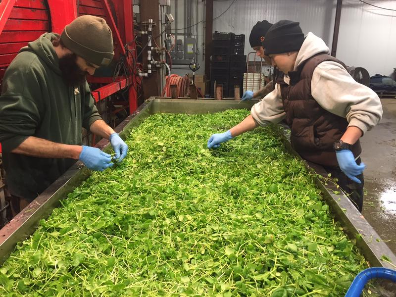 Workers pick through salad greens at Pete's Greens in Craftsbury. Pete's Greens is one of the large farms in the state that will have to comply with new food safety rules this year.