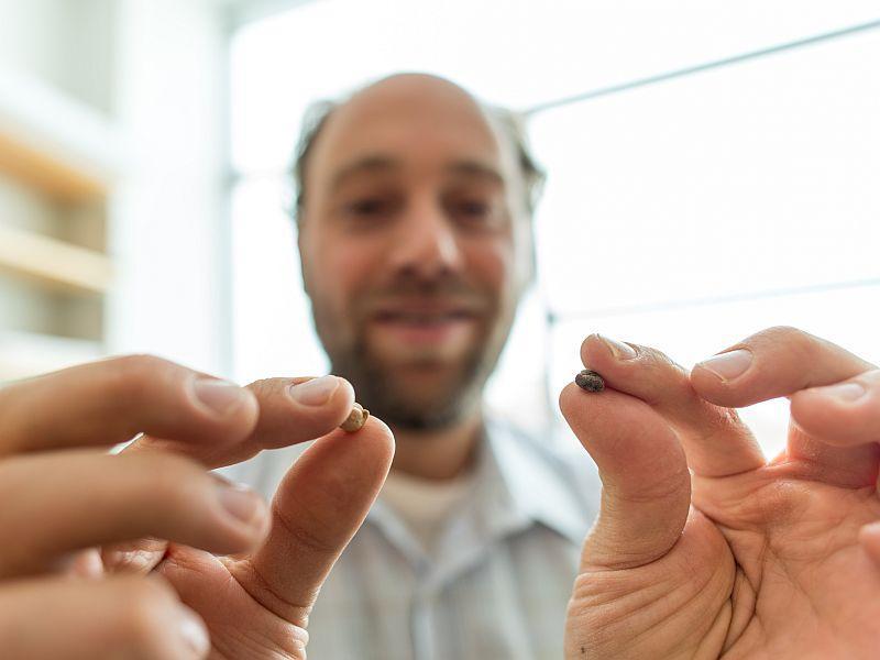UVM Plant Biologist Eric Bishop von Wettberg displays the domestic and the wild chickpea.