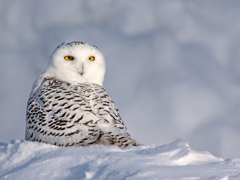 Kent McFarland captured this photo of a snowy owl in Killington.