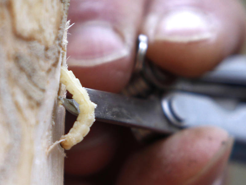An emerald ash borer larvae being removed from a tree, seen here in this photo from 2011.