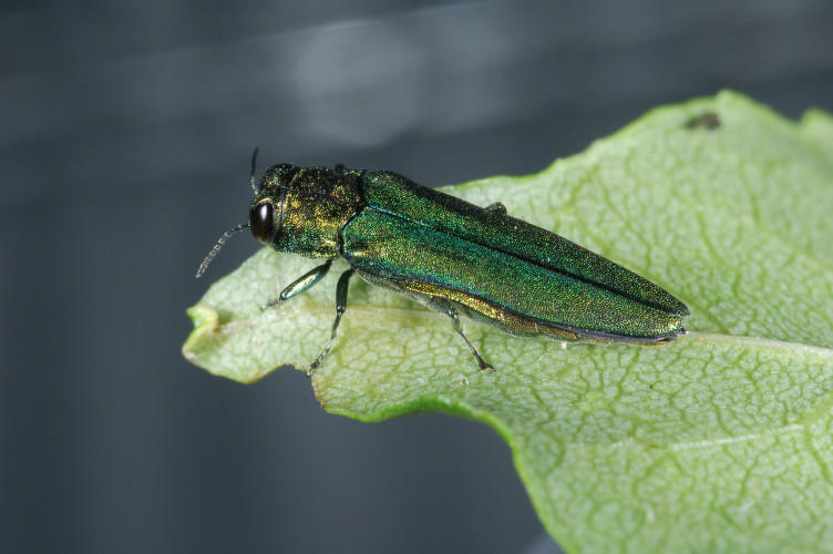 The emerald ash borer, an invasive insect, kills over 99 percent of ash trees. It's been found in Montpelier, and officials are planning a response.
