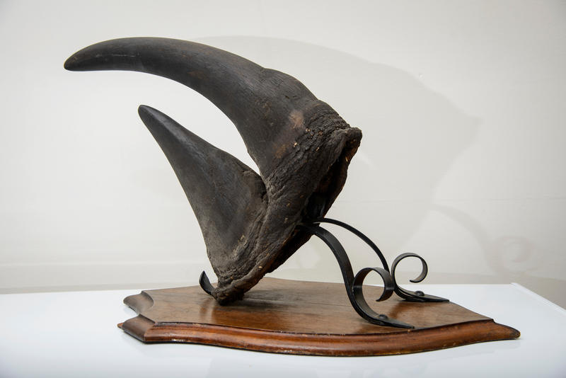 The stolen black rhinoceros horn has been returned intact to UVM.