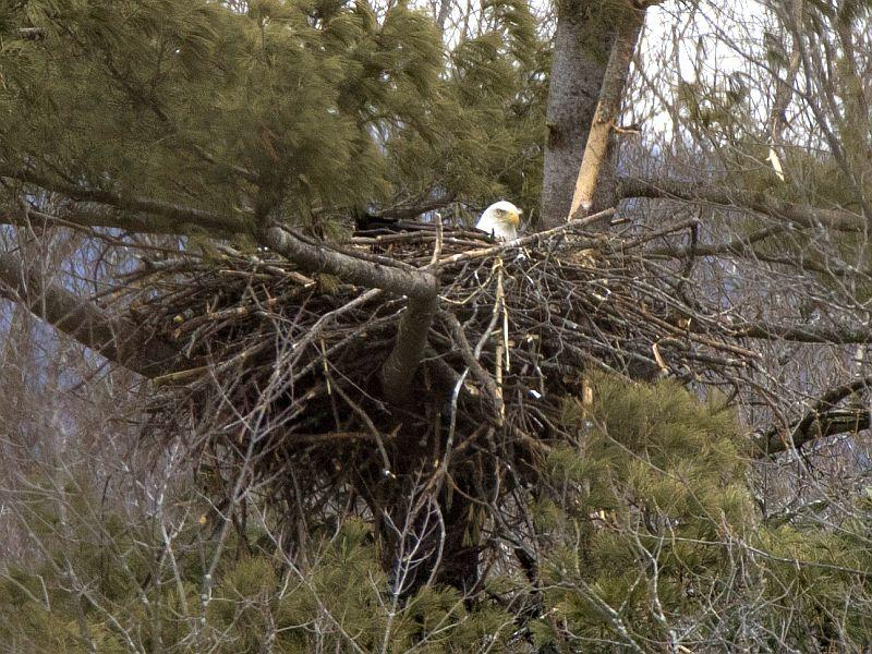 Bald eagle nests can be six to ten feet across and weight several hundred pounds.