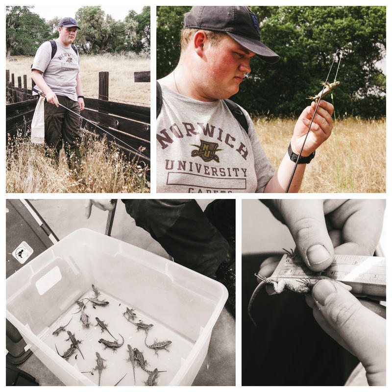 Norwich University senior Joshua Sassi's research on the Western Fence Lizard earned him an invitation to a national event for undergraduate researchers.