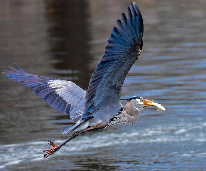 A Great Blue Heron spotted on Lake Champlain with a small trout for breakfast.