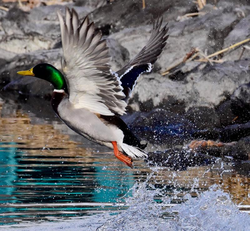 A male Mallard takes flight.