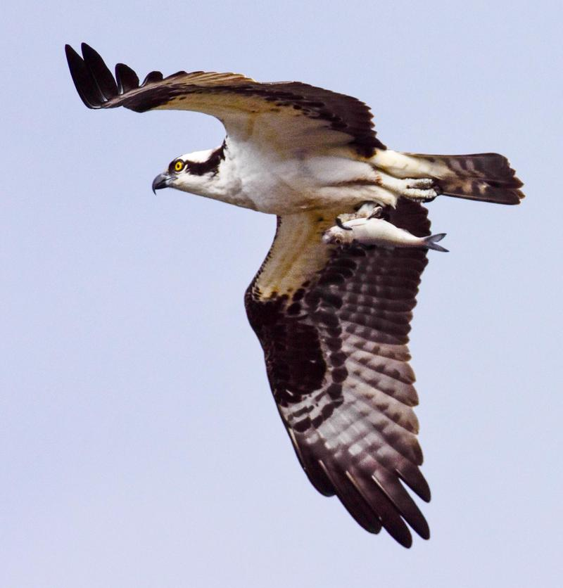 An Osprey carries its latest catch.