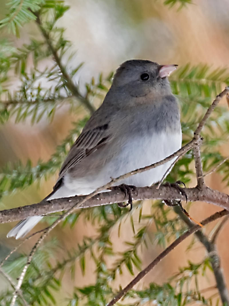 If you noticed unusually large numbers of Juncos at your bird feeder this year, you weren't alone.