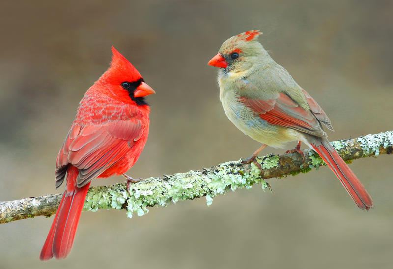 Northern cardinals have distinctive colors and call to one another at dawn and dusk.