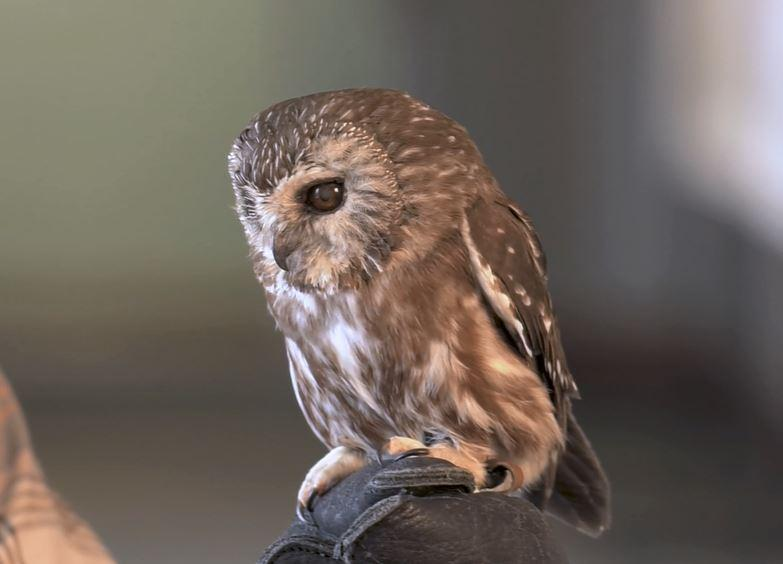This saw whet owl lives at the Southern Vermont Natural History Museum in Marlboro, Vt.