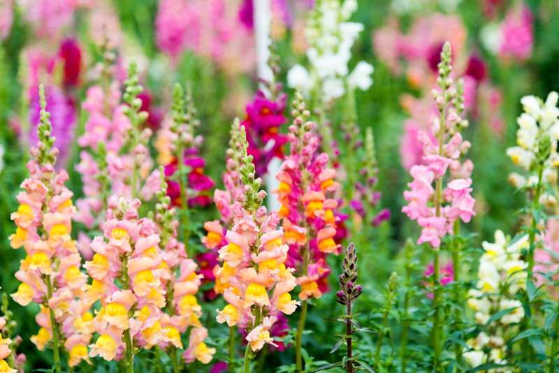 The snapdragon is a resilient flower that can be grown in beds or containers, withstands frost and heat, and blooms in an array of colors.