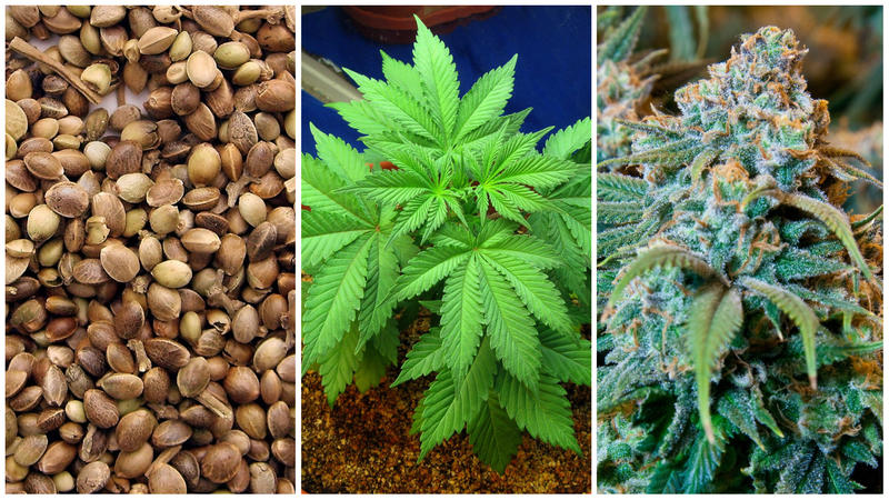 Marijuana seeds (left), a young marijuana plant (center), and a mature flowering marijuana plant. Cultivating a limited number of mature plants will be legal in Vermont on July 1, but getting started raises legal questions.
