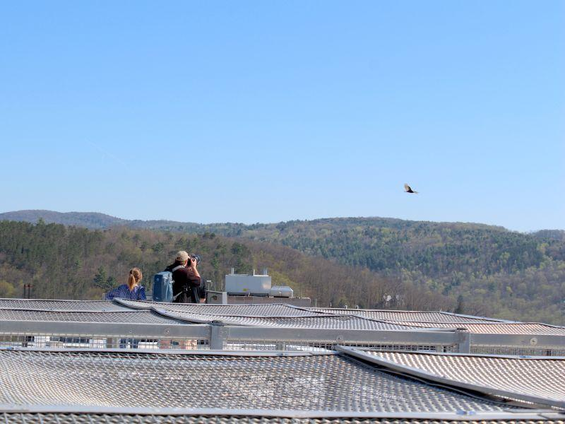 Biologists Sara Zahendra and Kent McFarland watch turkey vultures from the roof of National Life in Montpelier.