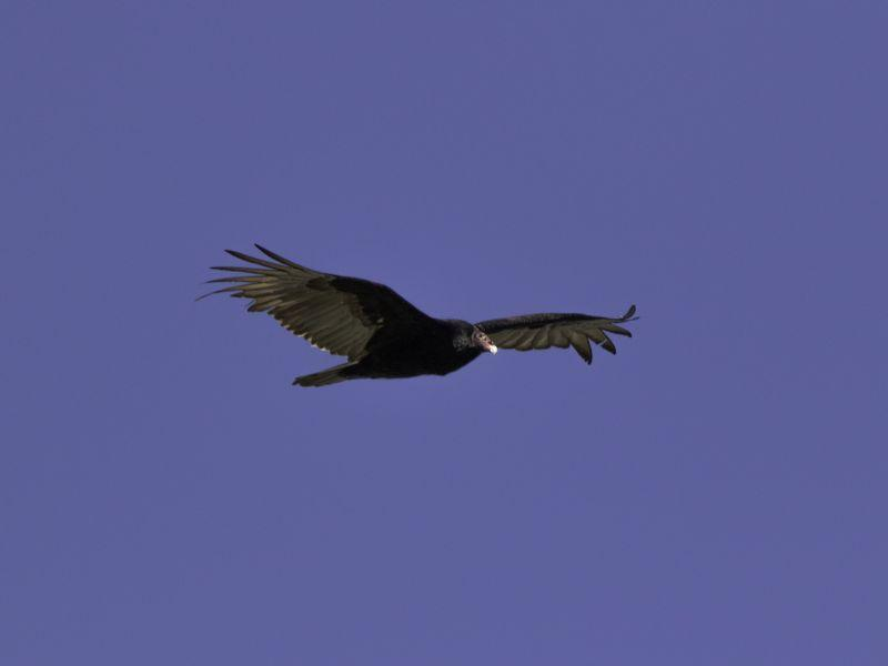 A turkey vulture has a six foot wingspan, but they are a small bird - only about four pounds.