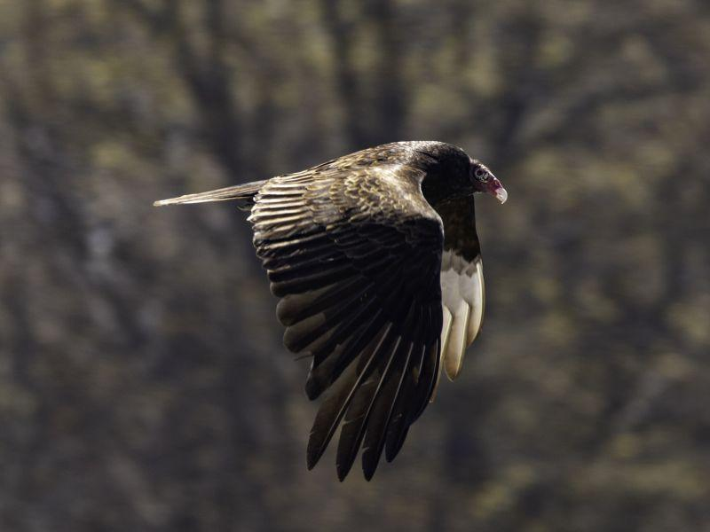 A turkey vulture soars over the National Life building in Montpelier.